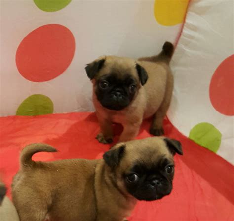pug for sale cardiff 2 beautiful pug x puppies for sale must see tra cardiff cardiff pets4homes