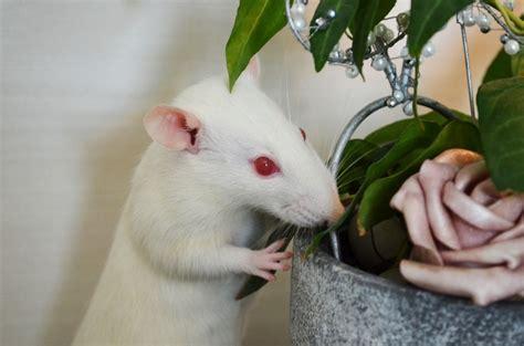 leucism vs albinism
