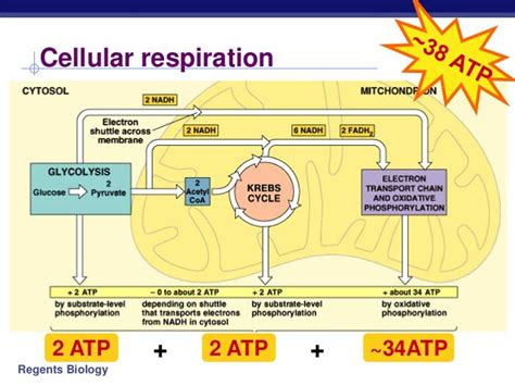 aerobic cellular respiration diagram cellular respiration equation types stages products