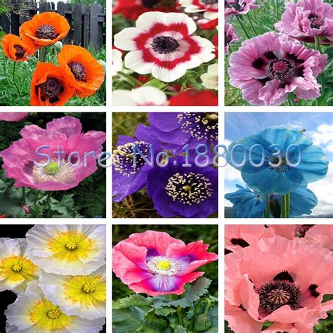 poppy flower colors 200pcs beautiful 9 different colors of poppy