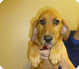 golden retriever springer spaniel mix golden retriever springer spaniel mix puppy for adoption in oviedo florida endive
