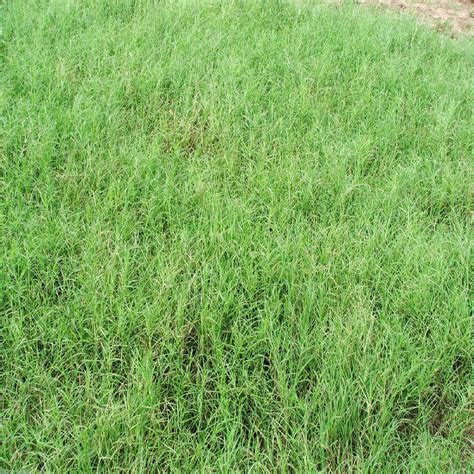 giant bermuda grass seeds quot hulled quot 1 lbs bag ebay