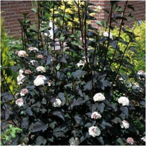 flowering shrubs for shade zone 7 search results acorn farms wholesale trees shrubs