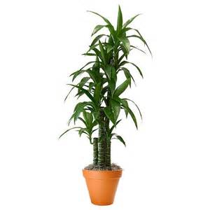 Flower Delivery Specials - dracaena mona lisa plant and flower delivery manhattan