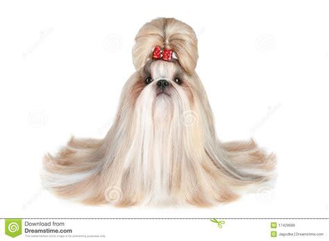 shih tzu goggles of breed shih tzu royalty free stock images image 17429699