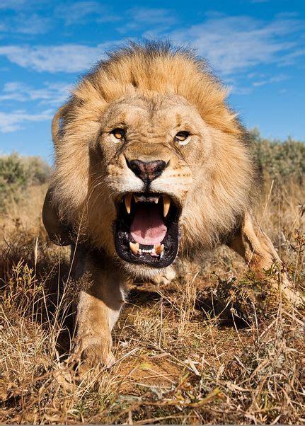 imagenes de leones swag charging lion marsel van oosten big cats pinterest
