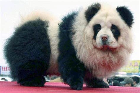 chow chow puppies panda panda chow chow