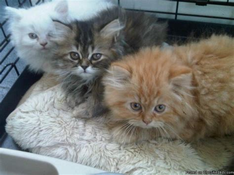 puppies and kittens for sale gorgeous kittens for sale price 750 for sale in hartsdale new york