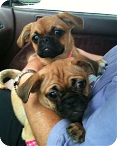 pugs for sale in ct pug mix puppies adopted puppy naugatuck ct pug