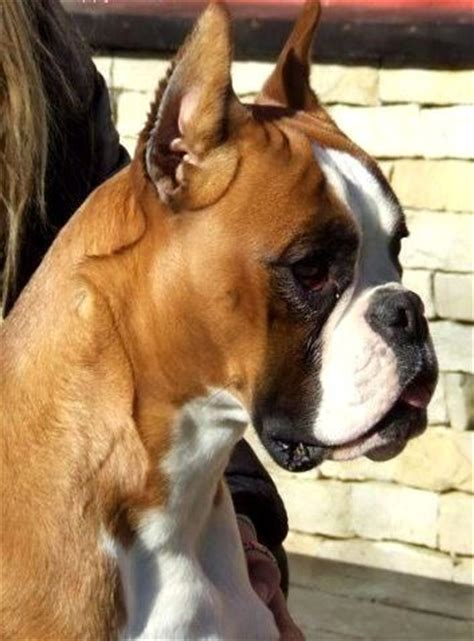 boxer puppies nc sandman boxers boxer breeder eastover carolina