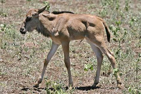 baby wildebeest baby wildebeest