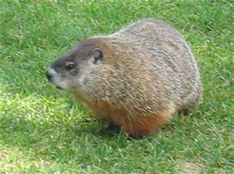 groundhog day in canada canadian groundhog