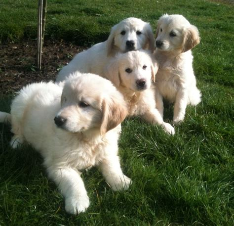new hshire golden retriever breeders golden retriever puppies ready for new homes now emsworth hshire pets4homes