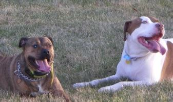 how to introduce a puppy to another introducing your pit bull to another