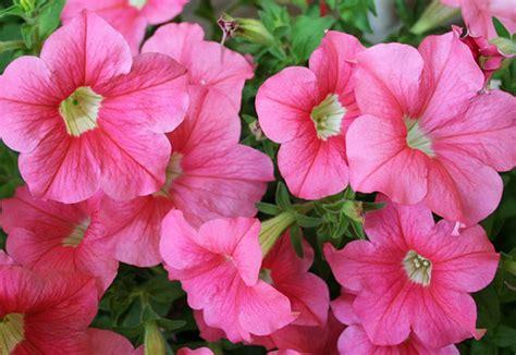 fiore petunia scelte per te giardino fiore petunia