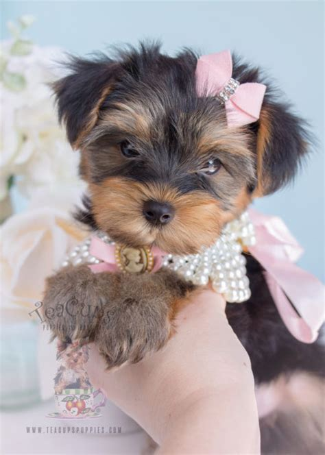 toys for yorkies teacup yorkies for sale by teacups puppy boutique teacups puppies boutique
