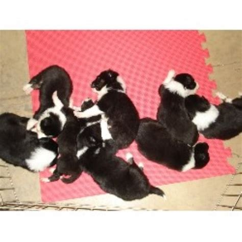 border collie puppies for sale florida border collie breeders in florida freedoglistings breeds picture