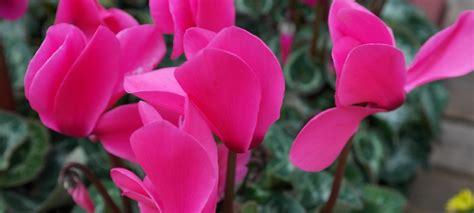 come curare i ciclamini in vaso consigli per coltivare e curare i ciclamini a terra e in vaso