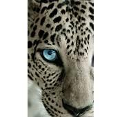 Snow Leopard Blue Eye IPhone 6 Plus HD Wallpaper  Free