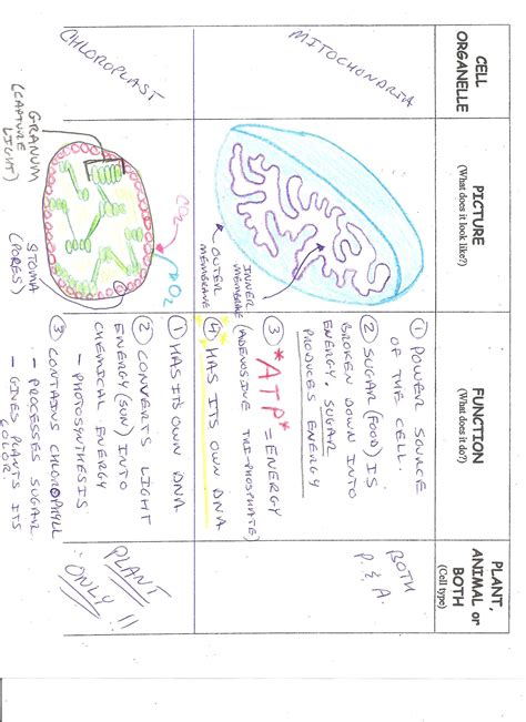 Chloroplasts And Mitochondria Worksheet Answers by 28 Chloroplast And Mitochondria Worksheet