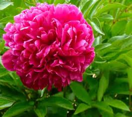 peony flowers june peony paeonia species santa fe botanical garden