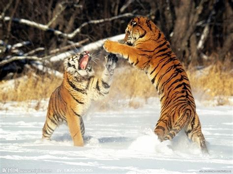 imagenes de leones y tigres peleando 老虎摄影图 野生动物 生物世界 摄影图库 昵图网nipic com