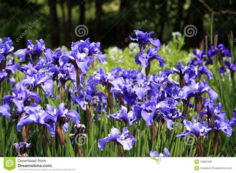 Iris In Flower Garden Royalty Free Stock Images Image Iris Flower Garden