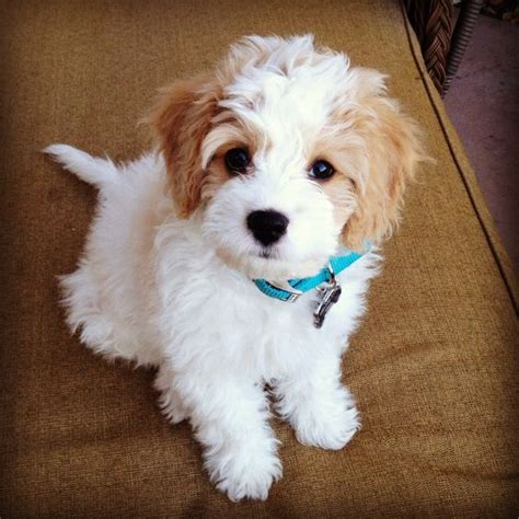 st charles puppy st charles cavalier bichon breeds picture