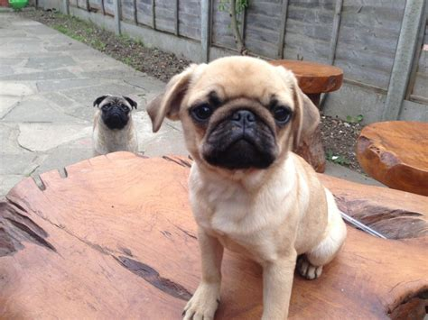 puppy pugs for sale mesha pug puppy for sale in pa breeds picture
