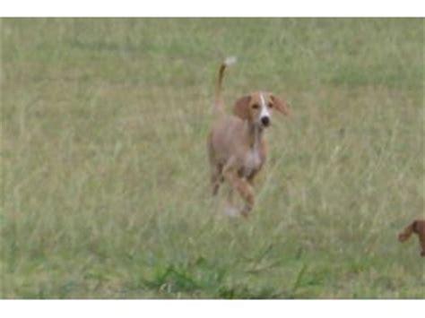 ibizan hound puppies for sale ibizan hound puppies for sale