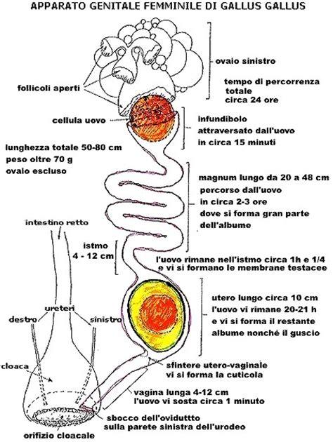 apparato genitale femminile interno ovum in ovo uovo matreshka relazione di federico