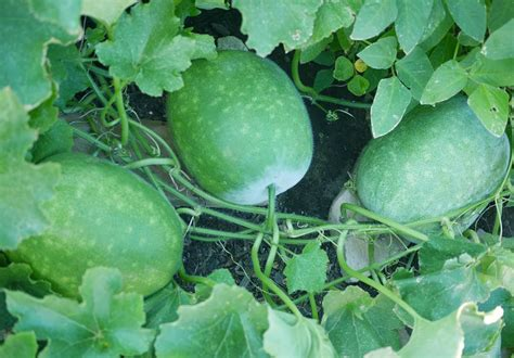 How To Plant Watermelon In A Garden by How To Grow Winter Melon Plant