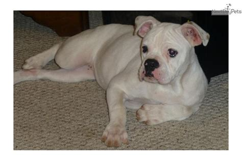 bulldog puppies for sale in houston american bulldog puppy for sale near houston a8ddfb66 0f21