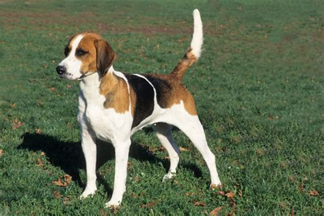 foxhound puppies foxhound breed information