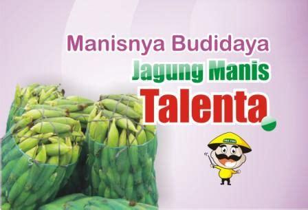 Benih Jagung Talenta budidaya jagung manis talenta benih pertiwi