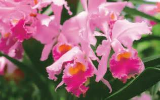 pink orchids pink orchid wallpaper