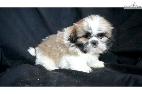 puppies for sale mi shih tzu puppies for sale michigan