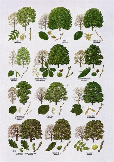 tree types native trees broad leaved pinteres