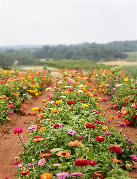 Zinnias Flower Garden 1000 Ideas About Cut Flower Garden On Flowers