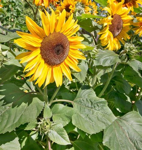 peredovik organic sunflower seeds