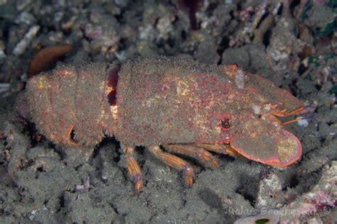 slipper lobster diverosa lobster slipper lobster