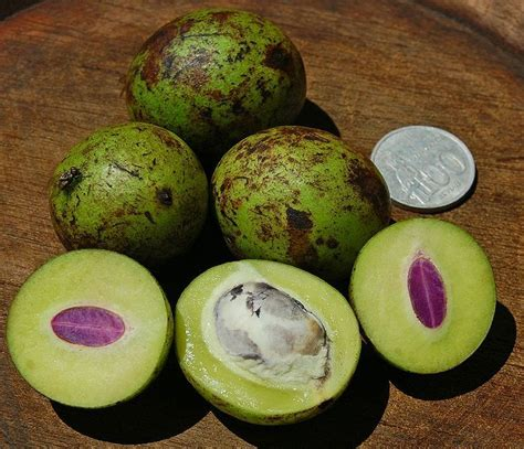 Bibit Buah Pear Asia gandaria fruit bouea macrophylla is a tropical fruit