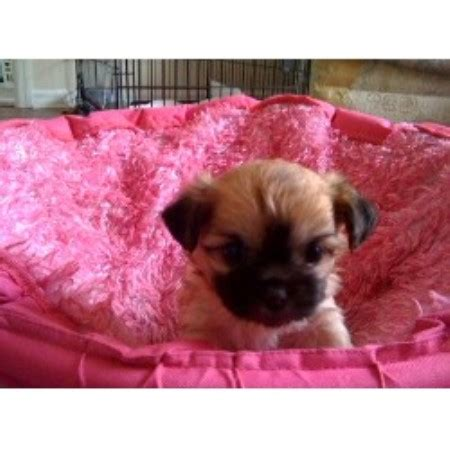 shih tzu for sale central florida shih tzu in south florida breeds picture