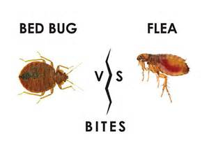 what do flea bites look like on humans with symptoms