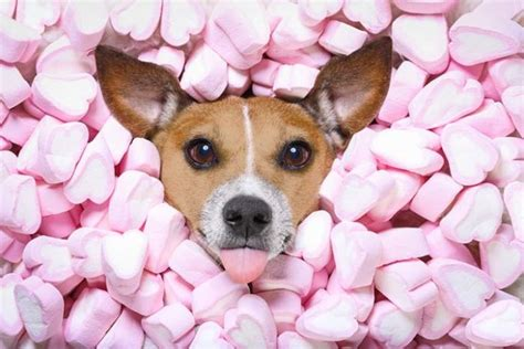 can puppies eat rawhide marshmallows for dogs 101 can dogs eat marshmallows