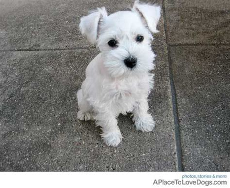 white schnauzer puppy white schnauzer fur and feather mini schnauzer puppies