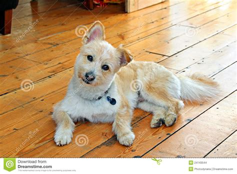pomeranian cross breed pomeranian cross breed stock images image 24143544