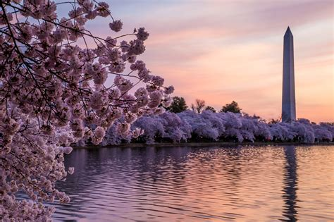 cherry blossom festival dc japanese cherry blossom bars are coming to washington d c