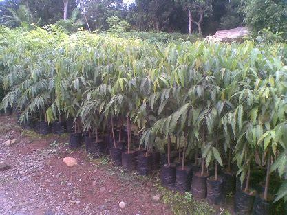 Jual Koleksi Tanaman Puring Murah Aneka Bibit Murah jual bibit tanaman hias langka info tanaman lengkap