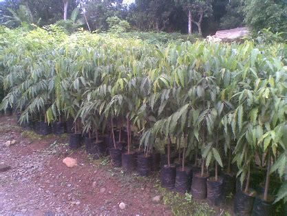 Jual Bibit Bunga Di Kota Batu blogjualtanaman jual tanaman hias jual bibit tanaman